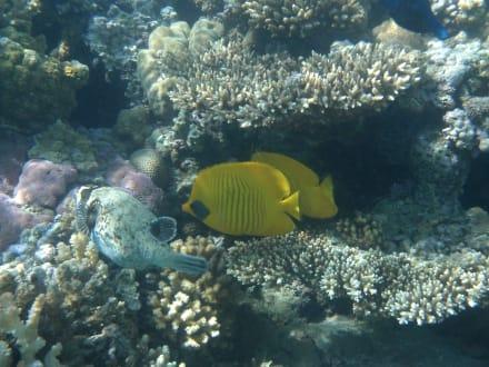Maskenfalterfische und Maskenkugelfisch - Schnorcheln Makadi Bay
