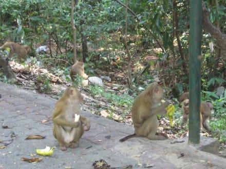 freilebende Affen  - Affenberg