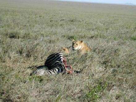 Löwe in der Serengeti - Serengeti Nationalpark