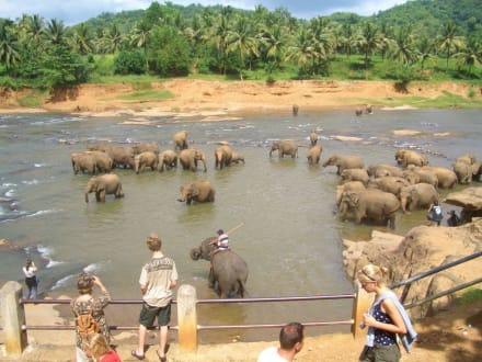 das große Baden im Fluss - Elefantenwaisenhaus Pinnawela