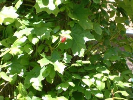 Viel Efeu und eine kleine Blüte. - Schloss Wolfsgarten