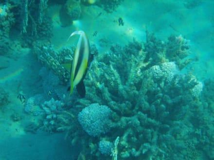 Hausriff - Schnorcheln Coraya Bay Marsa Alam