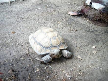 Schildkröten - Carthageland