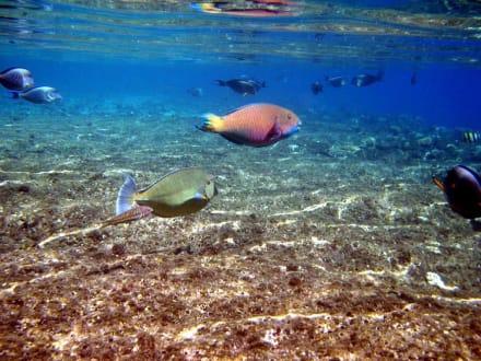 Three Corners Palmyra - Fische vor der Riffkante - Schnorcheln Nabq Bay