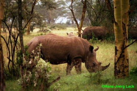 Nashorn! - Lake Nakuru Nationalpark
