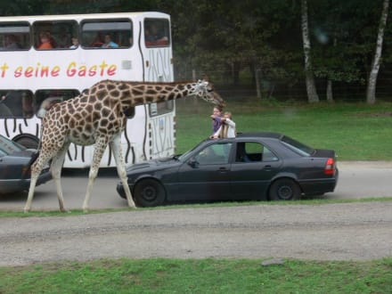 Giraffen - Serengeti Park