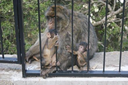 Sonstige Tiere - Affenfelsen und St. Michael's Cave