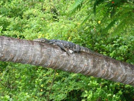 Leguan auf dem Baum - Bentota Fluss- und Mangroven Tour