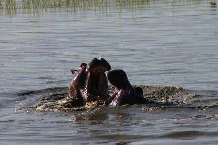 Hippos - Ngorongoro Reservat