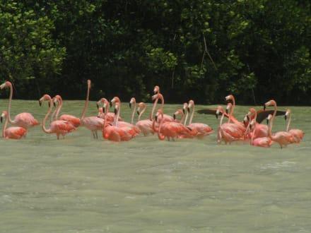 Naturreservat an der Golfküste - Flamingos von Celestun