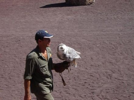 Greifvogelshow im Oasis Park - Oasis Park