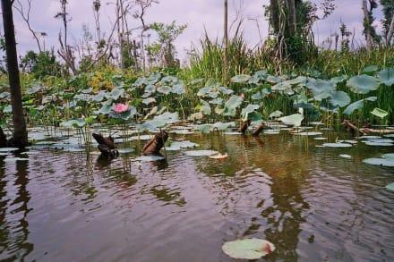 Lotosblüten - Lake Chini