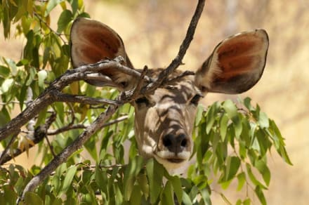 Kudu Weibchen - Black Rhino Tour