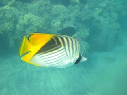 Fisch am Korallenriff - Schnorcheln Marsa Alam