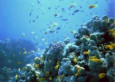 Soldatenfische am Hausriff - Tauchen Sharm el Sheikh