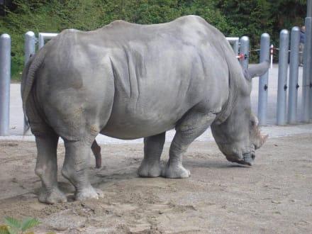 Es gibt wieder Nashörner im Zoo - Zoo Augsburg