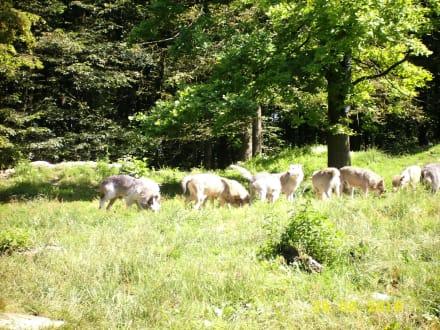Fütterung der Wölfe - Wildpark Bad Mergentheim
