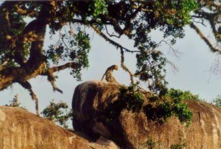 Leopard im Yala-Nationalpark - Yala Nationalpark