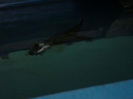 Alligator im Schwimmbecken - Alligator Action Farm
