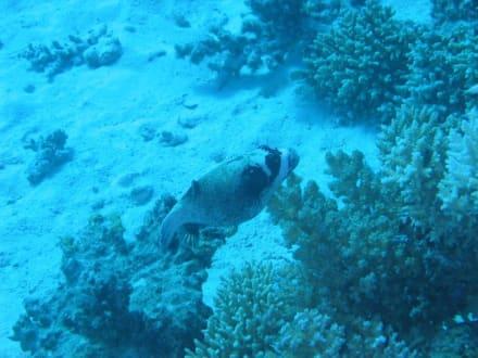 Maskenkugelfisch - Tauchen Hurghada