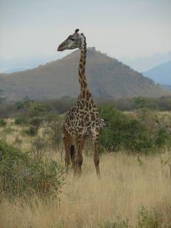 Netzgiraffe - Tsavo West Nationalpark