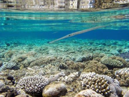 Flötenfisch - Schnorcheln Sharm el Sheikh
