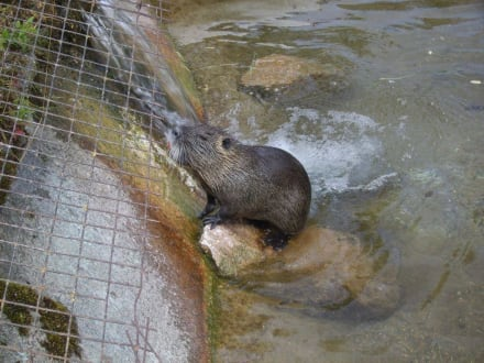 Nutria - Sumpfbiber - Wildpark Poing