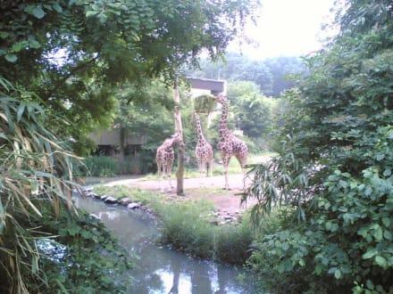 Giraffen - Zoo Duisburg