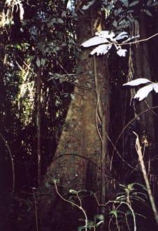 Große Bäume - Wooroonooran National Park
