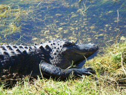 Aligator in freier Wildbahn - Everglades National Park