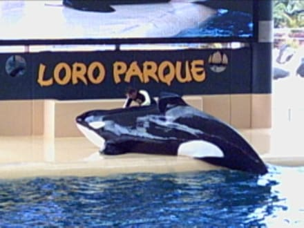 Orca Show im Loro Parque - Loro Parque