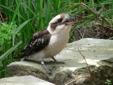 Wilder Kookaburra besucht Artgenossen - Taronga Zoo