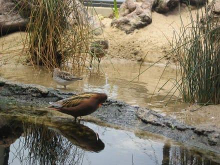 Enten im Aquarium - Monterey Bay Aquarium