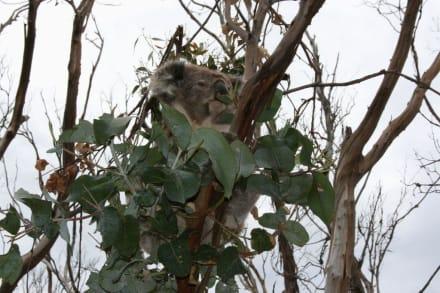 Koala an der Great Ocean Road - Great Ocean Road