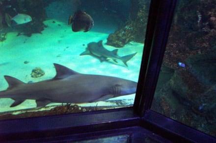 """Haie an der """"Plexiglasbrücke"""" - Sydney Aquarium"""