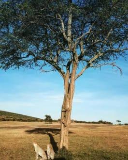 Cheetahs in Amboseli National Park - Amboseli Nationalpark