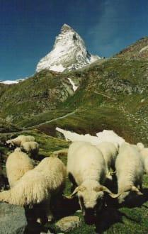 Schafe vorm Mtterhorn - Matterhorn