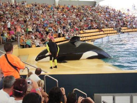 Orka-Wal in der Orca-Ocean-Show - Loro Parque
