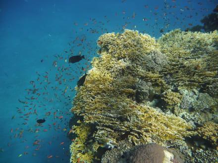 Korallenriff in der Bucht von Abu Dabbab - Schnorcheln Abu Dabab