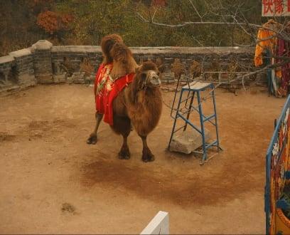 Das Camel - Chinesische Mauer