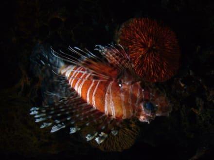 Feuerfisch im Südseebecken - Aquarium Westerland