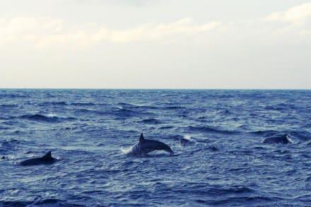 Delphine in freier Natur - Delfin Tour Nord-Malé-Atoll