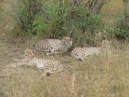 3 Geparden Männchen - Masai Mara Safari