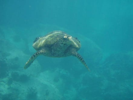 Wasserschildkröte am Anse Lazio - Strand Anse Lazio