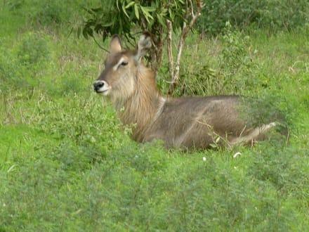 Woran denkt der denn? - Tsavo Ost Nationalpark