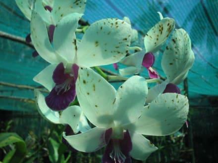 Orchideenfarm auf Koh Lanta! - Orchideenfarm