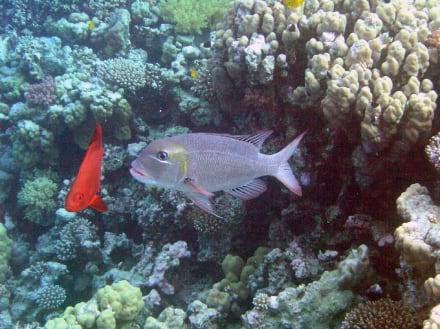 Fische - Schnorcheln Makadi Bay