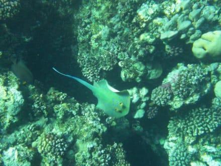 Fische Hausriff - Tauchen El Quseir