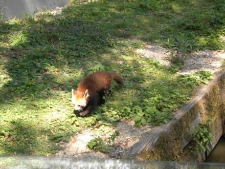 Eine Waschbärenart - Zoo Schmiding