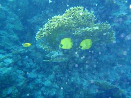 Fische - Tauchen Sharm el Sheikh